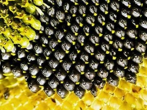 Семена подсолнечника 100 гр